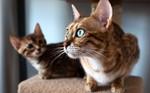 Коты породы Серенгети
