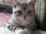 Серьезная Американская короткошерстная кошка