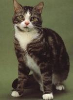 Серьезная Американская жесткошерстная кошка