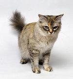 Серьезная Азиатская полудлинная кошка