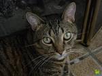 Серьезная Калифорнийская сияющая кошка