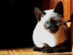 Серьезный Сиамский кот