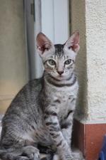 Кот породы Серраде Петит