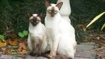 Сиамские кошки в лесу
