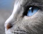 Сиамский кот с красивыми глазами