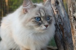 Сибирская кошка в лесу