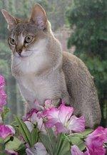Кот породы Сингапура с цветами