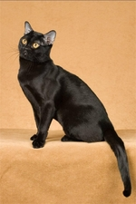 Бомбейская кошка сидит