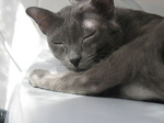 Спящий кот породы Корат