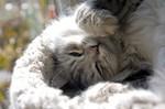Сибирская кошка спит