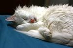 Спящая Турецкая Ангора