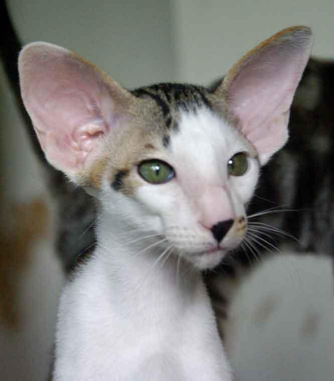 Кот умные пород