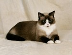 Портрет кота породы Сноу-шу