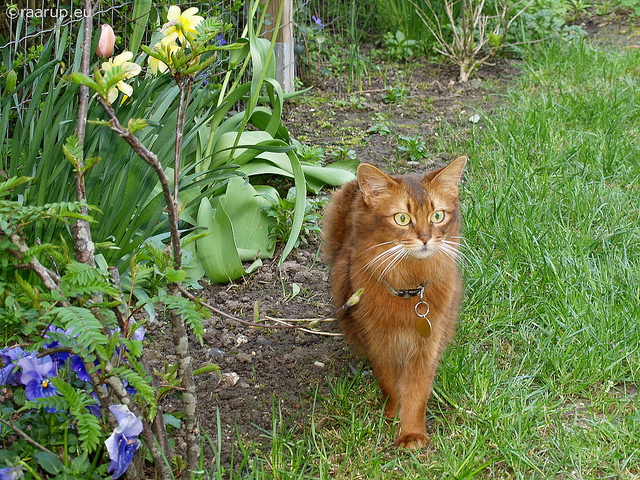кошка породы курильский бобтейл фото цена