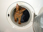 Кот Сомали в стиральной машине