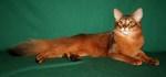 Портрет кота породы Сомали