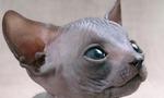 Морда котенка породы Сфинкс