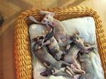 Котята породы Сфинкс в корзине