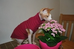 Кот Сфинкс с цветами