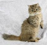 Кот породы Наполеон стоит