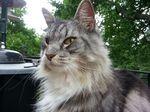 Морда Шведской лесной кошки