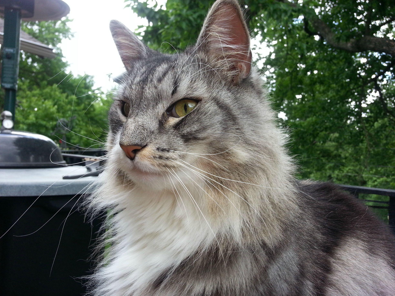 Шведская лесная кошка фото