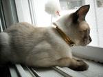 Тайская кошка возле окна