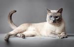 Портрет Тайской кошки