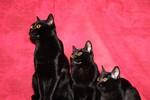 Три Бомбейских кошки