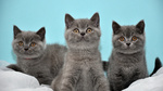 Три Британские короткошерстние кошки