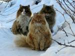 Три Норвежские лесные кошки зимой