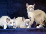 Три кота породы Сноу-шу
