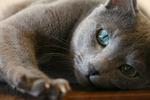 Уставшая Русская голубая кошка