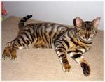 Кот Тойгер на полу