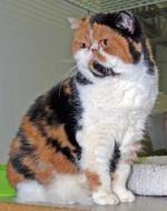 Трехцветная Экзотическая короткошерстная кошка