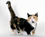Трехцветный кот породы Манчкин