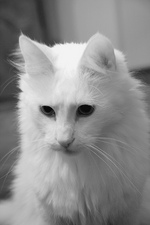 Черно-белое изображение Турецкой Ангоры