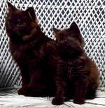 Два кота породы Шантильи-Тиффани