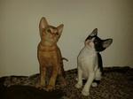 Два кота породы Немецкий Рекс