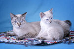 Два кота породы Меконгский Бобтейл