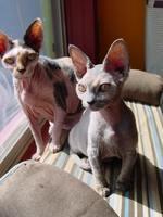 Два кота породы Минскин