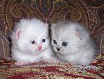 Два котенка породы Наполеон