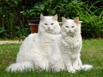 Две Норвежские лесные кошки