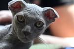 Морда кота породы Украинский Левкой