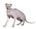Портрет кота породы Украинский Левкой