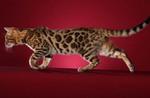 Бенгальская кошка гуляет