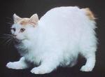 Настороженный кот породы Кимрик