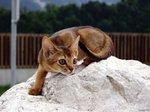 Абиссинская кошка наблюдает