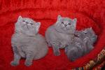 Котята Шартреза наблюдают