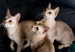Котята породы Сингапура наблюдают